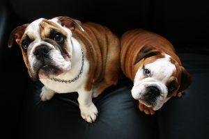 bulldog-buddies